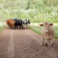 Millises Eesti talus elab sada õnnelikku lehma? Vaata järele!
